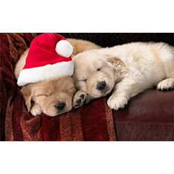 Napping Christmas Puppies